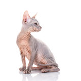 Bald Cat sphinx Royalty Free Stock Photos