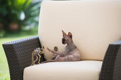Bald cat of Sphynx breed plays in an armchair. Bald cat of Sphynx breed plays in a beige chair with a small toy dinosaur Stock Photo