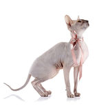 Bald cat with a tape. Royalty Free Stock Photos