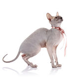 Bald cat with a tape. Stock Image