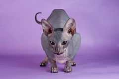 Bald cat on the violet  Royalty Free Stock Photography
