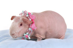 Bald Cavy in Necklace Stock Image