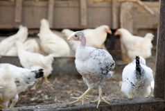 Bald chicken at the village farm. Royalty Free Stock Images