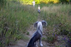 A bald Chinese crested dog is waiting for a small host on the path during a rural walk through a green meadow royalty free stock image