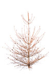 Bald christmas tree Stock Images