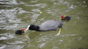 Bald coot with chick stock footage
