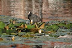 The bald-coot costs on lily leaves. stock photography
