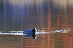 Bald-coot relaxes among water Royalty Free Stock Photography