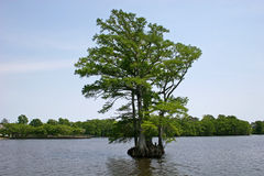 Bald Cypress. In the Albermarle sound Royalty Free Stock Image