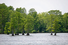 Bald Cypress Royalty Free Stock Photos