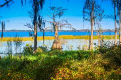 A Bald Cypress along the shore of Lake Louisa in Florida stock photo