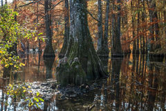 Bald cypress in automn , french countryside Royalty Free Stock Images