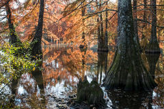 Bald cypress in automn , french countryside Royalty Free Stock Photo