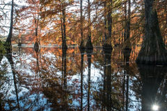 Bald cypress in automn , french countryside Royalty Free Stock Image