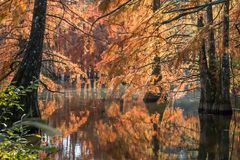 Bald cypress in automn , french countryside Stock Photo