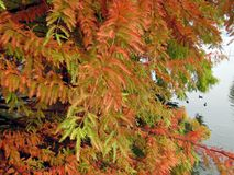 Bald Cypress Branches During Fall Season Royalty Free Stock Photos