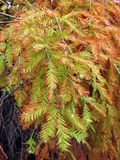 Bald Cypress Branches During Fall Season Stock Images