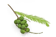 Bald Cypress Cones and Leaves Stock Photo