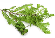 Bald Cypress Cones and Leaves. Bald Cypress is a conifer native of the southeastern United States Stock Photos