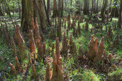 Bald Cypress Knees, Congaree National Park Royalty Free Stock Images