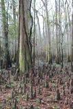Bald Cypress Knees at Congaree National Park Royalty Free Stock Images