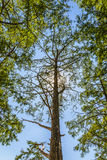Bald cypress Stock Photo