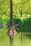 Bald cypress reflecting in green water Royalty Free Stock Photos