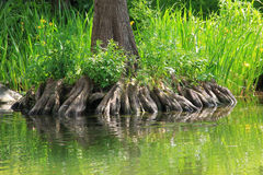 Bald cypress rootage Royalty Free Stock Photos