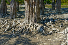 Bald cypress Royalty Free Stock Image