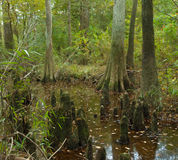 Bald cypress swamp in Big Thicket Preserve, Texas. Bald cypress trees grow in swamps.  The cypress trees are surrounded by knees to help them get enough oxygen Stock Photo