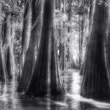 Bald cypress Stock Photography