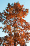 Bald Cypress (Taxodium distichum) Royalty Free Stock Photography