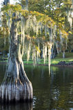 Bald cypress (Taxodium distichum) Stock Photography