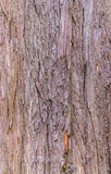 Bald cypress texture Stock Image
