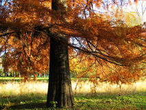 Bald Cypress Tree. In park royalty free stock photos