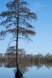 Bald Cypress Tree Stock Image