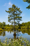 Bald Cypress Tree Growing in Wetlands at Stumpy Lake. A Bald Cypress tree growing in the wetlands of Stumpy Lake Natural Area in Virginia Beach, Virginia Stock Photography