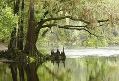 Bald Cypress Tree Overhaning a river. A Bald cypress tree overhanging a misty river stock images