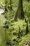 Bald Cypress Trees on the banks of the river Stock Photos