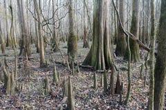 Bald Cypress Trees at Congaree National Park Stock Images