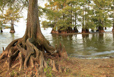 Bald Cypress Trees at the Edge of Lake Stock Photo