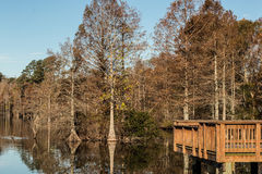 Bald Cypress Trees at Fishing Pier at Stumpy Lake Royalty Free Stock Photos