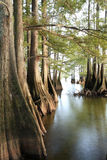 Bald Cypress Trees at the Lakes Edge as the Sun Begins to Set Royalty Free Stock Images