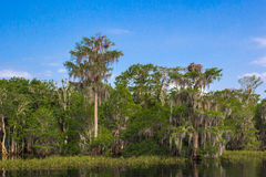 Bald Cypress Trees Royalty Free Stock Image