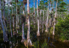 Bald Cypress Trees Stock Photography