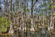 Bald Cypress Trees Swamp in big Cypress stock photo