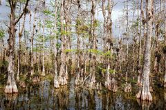 Bald Cypress Trees Swamp in big Cypress Royalty Free Stock Photo