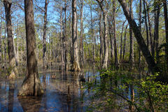 Bald Cypress Trees Stock Images