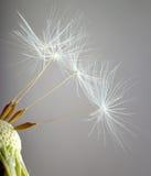 The bald Dandelion. Royalty Free Stock Photos