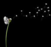 Bald dandelion Royalty Free Stock Images